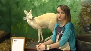 Музей истории золотодобычи Северо-Енисейского района. Кабарга