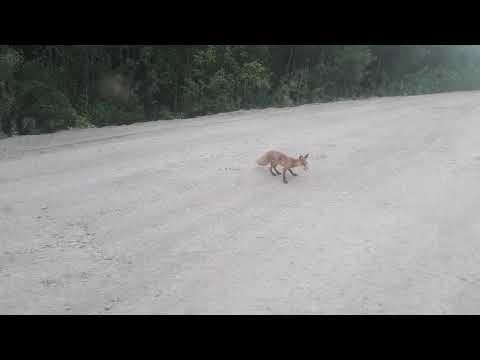 Ручные лисы по трассе Северо-Енисейск