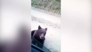 """""""Помидорку будешь?"""": медведь вышел попрошайничать на дорогу под Северо-Енисейском"""