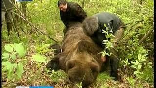 В Северо-Енисейске медведь вышел на детскую площадку