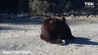Медвежонок на трассе Северо-Енисейск (видео 1)