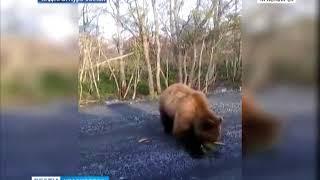 В Северо-Енисейском районе автолюбитель встретил на дороге медведя