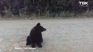 Медвежонок на трассе Северо-Енисейск (видео 2)