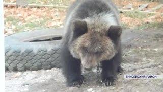 В Енисейском районе края через интернет продают живую медведицу (Новости 10.10.16)