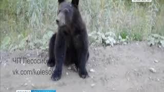Под Северо-Енисейском местные жители накормили медвежонка булочками
