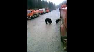 Медведи на р Широкой Красноярский край