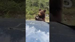 Мишка на трассе Епишено- Северо-Енисейск