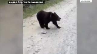 Медведь перед машиной. Епишино, Северо-Енисейский.  Андрей Гришаков.