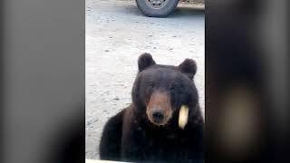 Медвежонок на трассе Северо-Енисейск (видео 4)
