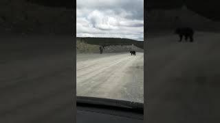 Медведь в Северо-Енисейске 2. Июнь 2020 г.